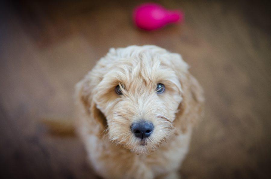 new-puppy-natural-balance-bogey